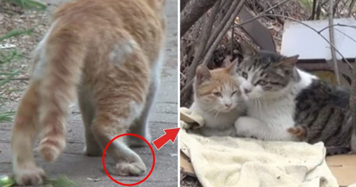 A normal cat brings friendship goal to the next level when he takes care and feeds his disabled best friend