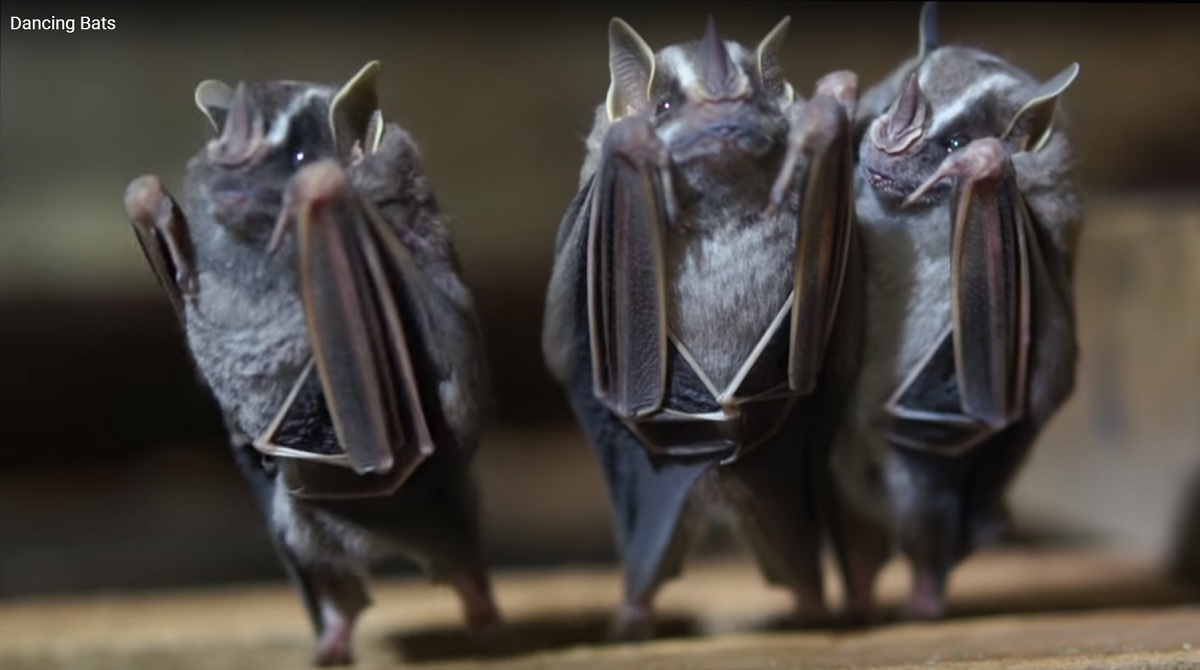 Man Recorded Bats Hanging On The Ceiling He Discovered That Could Dance