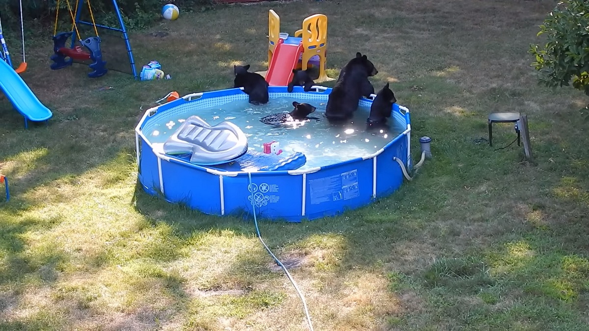 A group of black bears caught a new jersey family by surprise for having a wild pool party in for Bears in swimming pool new jersey
