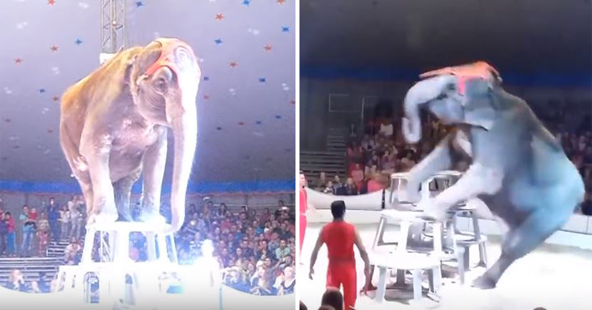 Circus elephant was performing when it fell down—other elephants running to it to check if it's alright