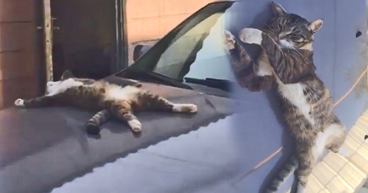 A tired cat is believed to be dead on a car from its ...