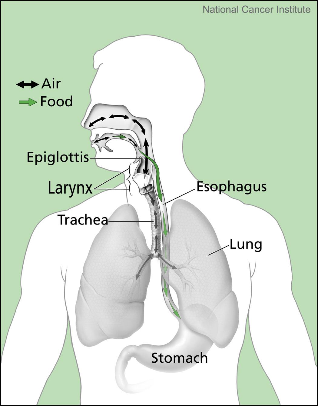 20190329-nci-esophagus-diagram