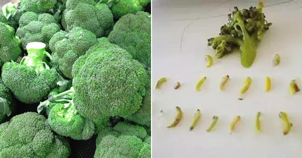 Broccoli Might Be Full Of Worms Without You Realizing Use These