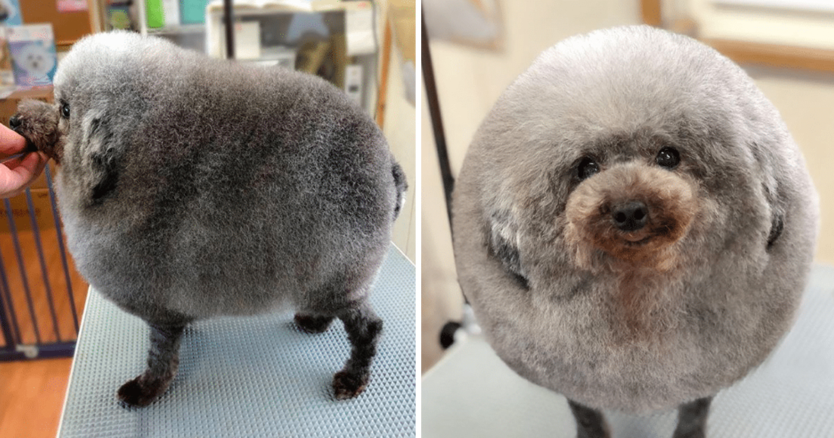 Owner Sent Dog To Groomer And Came Home Looking Like The Cutest Cloud On Earth Good Times